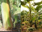 batang-pisang-1.jpg