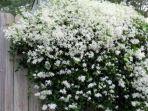 berbagai-bunga-seperti-bunga-bougenvile-bunga-melati-irian_20180512_160549.jpg