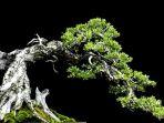 bonsai-santigi_20180602_091500.jpg