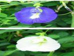 bunga-telang.jpg