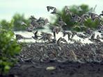 burung-migran-menari-di-angkasa-sembilang_20151214_223734.jpg