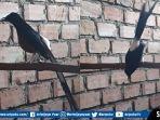 burung-murai-batu-bernama-aryo.jpg