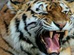 fakta-baru-pasca-mustadi-tewas-diterkam-harimau-ada-8-fakta-temuan-bksda-si-nenek-marah.jpg