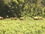 gajah-liar-merusak-tanaman-padi-di-kawasan-gle-barat_20180622_124056.jpg