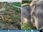 gajah-sumatera-rusak-kawasan-pertanian.jpg