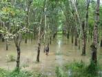kebun-karet-warga-talang-ojan-kecamatan-talang-ubi-terendam-air_20161117_134827.jpg