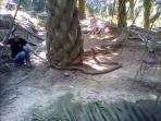 king-cobra-berukuran-besar-ular_20160206_140821.jpg