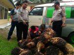 pencuri-kelapa-sawit_20170525_161657.jpg