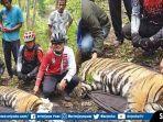 pengobatan-satu-ekor-harimau-sumatera-yang-terjerat-jaring-babi.jpg
