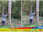 salah-satu-petani-karet-ketika-menyadap-pohon-karet-di-kecamatan-keluang_20180828_113140.jpg