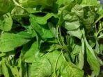 sayuran-bayam-sayur-bayam1.jpg