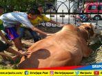 seekor-sapi-kurban-sudah-berada-di-masjid-agung-palembang_20180821_151413.jpg