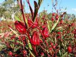 sering-dianggap-sebagai-tanaman-hias-ini-7-manfaat-rossela-yang-baik-untuk-kesehatan.jpg