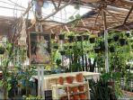 tanaman-ekor-naga-ada-di-cafe-hijaukan-teras.jpg