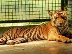 tigersumatera.jpg