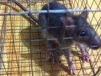 tikus1-tikus-perangkap-tikus.jpg