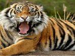 update-teror-harimau-perambahan-hutan-lindung-gunung-dempo-sebab-utama-kemarahan-harimau-sumatera.jpg