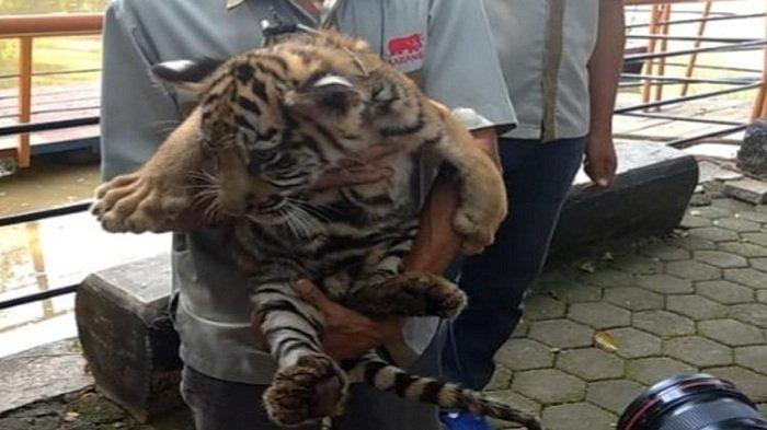 Lahir di Tengah Pandemi, 2 Bayi Harimau Benggala Koleksi Semarang Zoo Diberi Nama Covi & Vivi