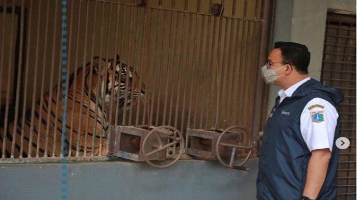 Harimau di Ragunan Positif Covid-19,Anies Baswedan: Mereka Berangsur Pulih, Tidak Buru-buru WFO