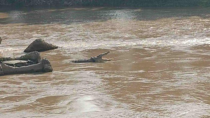 Buaya Berkalung Ban yang Dulu Viral Kini Kembali Muncul di Jembatan Palu I