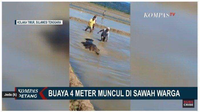 Buaya Sepanjang 4 Meter Kesasar di Tengah Sawah di Sulawesi Tenggara, Videonya Jadi Viral