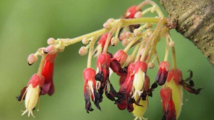 Manfaat Bunga Belimbing Wuluh Ampuh Merdakan Batuk, Berikut Penjelasan Lengkap Cara Meraciknya