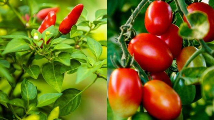 Perhatikan 5 Hal Ini Saat Menanam Cabai dan Tomat di Rumah: Sinar Matahari dan Air Itu Penting