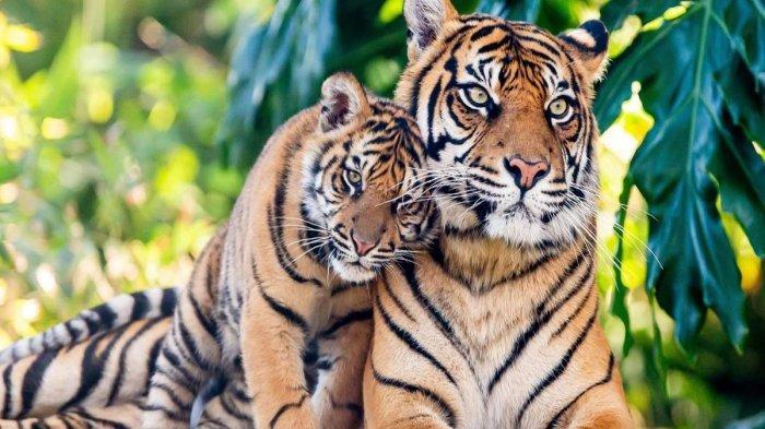 Kronologi Hilangnya 2 Harimau Singkawang, Pawang Hendak Memberi Makan Ditemukan Bersimbah Darah