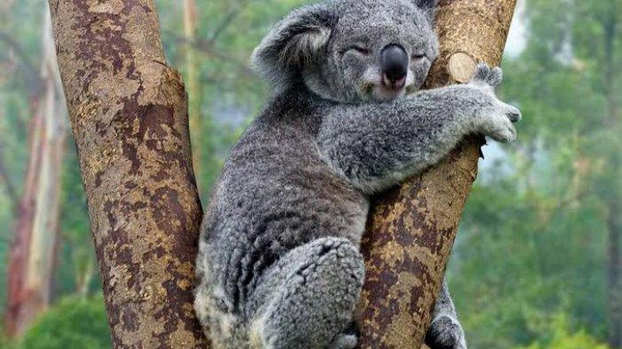 Pertaruhkan Nyawa, Wanita di Australia Rela Lepas Baju dan Selamatkan Koala dari Kebakaran Semak