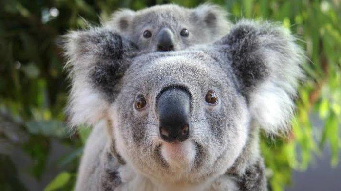 Akibat Kebakaran di Australia, Koala Dinyatakan Sebagai Spesies yang Punah secara Fungsional