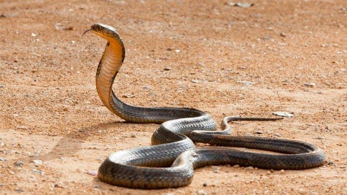 Ular Kobra 4 Meter Ditemukan di Gowa,Sulsel, Empat Warga Dipatuk, Dua Tewas