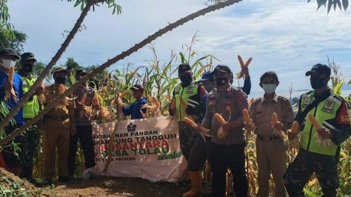 Cek Ketahanan Pangan Kampung Tangguh di Buol, Tim Asistensi Polda Sulteng Panen Jagung