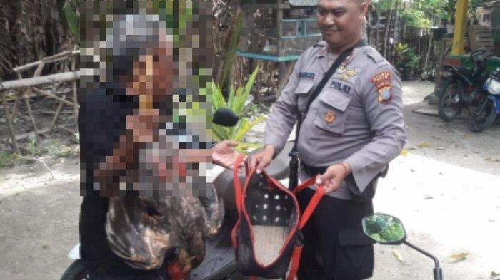Judi Sabung Ayam di Tawaeli Palu Digerebek Polisi, Dua Pria Digelandang ke Kantor Polisi