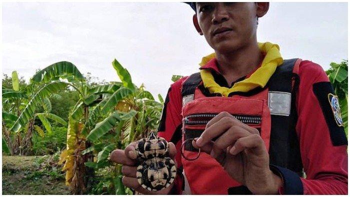 Terlilit Karet Gelang, Kura-kura Kecil di Thailand Punya Cangkang Berbentuk Mirip Angka 8