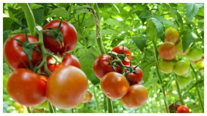 Berikut 6 Manfaat Tomat, Menjaga Kesehatan Jantung hingga Mencegah Kanker, Berikut Penjelasannya