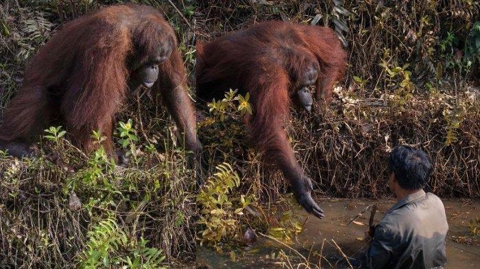 Viral di Instagram, Kisah Orangutan yang Coba Menolong Pria di Kubangan Penuh Ular Ini Bikin Trenyuh