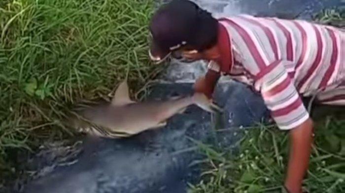 Warga Lolu Utara Digegerkan Dengan Penemuan Hiu Terdampar di Sungai Palu
