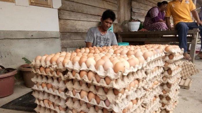 Harga Pakan Melejit, Telur Anjlok, Peternak Ayam di Palu Menjerit