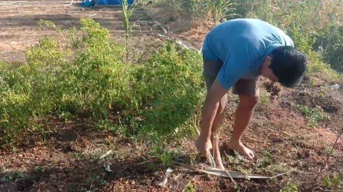 Gara-gara Harga Cabai Anjlok, Petani di Jeneponto Pilih Cabuti Pohon Cabainya