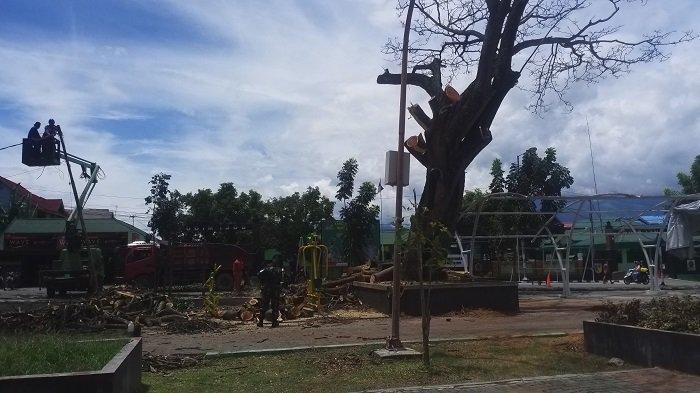 Pohon Besar di Lapangan Vatulemo Ditebang, Pekerja: Sudah Tua dan Dahannya Sering Jatuh