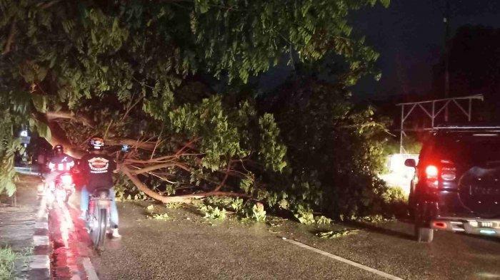 Diguyur Hujan Lebat, Pohon Trembesi di Jalan Abdul Rahman Saleh, Palu Tumbang