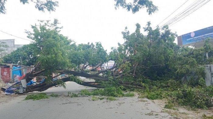 Pohon Tumbang Tutup Badan Jalan, Pengendara di Jl Veteran Palu Harus Putar Arah