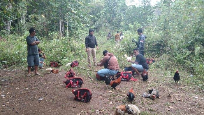 Polisi Gerebek Arena Judi Sabung Ayam di Totikum Banggai Kepulauan