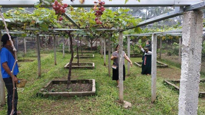 Pua Mbaso Farm Palu, Tawarkan Sensasi Petik Anggur di Kebun Sendiri - pua-mbaso-farm-4.jpg