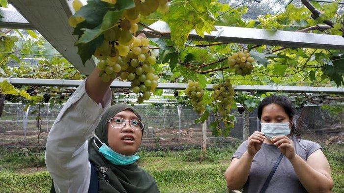 Pua Mbaso Farm Palu, Tawarkan Sensasi Petik Anggur di Kebun Sendiri - pua-mbaso-farm-palu-1.jpg