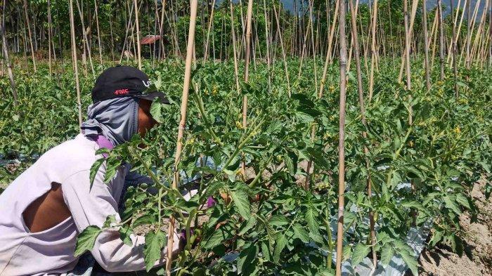 Sulteng Hari Ini: FAO Berikan Bantuan Bibit Kepada 4687 Petani Hortikultura di Kabupaten Sigi