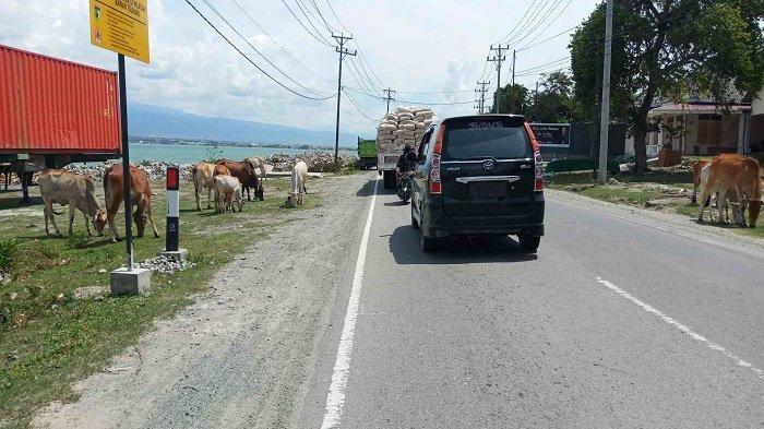 Kembali Terjadi, Ternak Sapi Berkeliaran di Ruas Jalan Trans Palu-Donggala