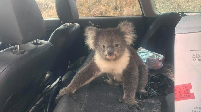 Cuaca Terlalu Panas, Seekor Koala Nekat Masuk Mobil dan Nikmati AC yang Menyala
