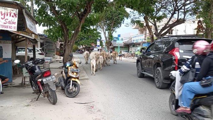 Gerombolan Ternak Sapi Berkeliaran di Jl Veteran Gangu Arus Lalulintas