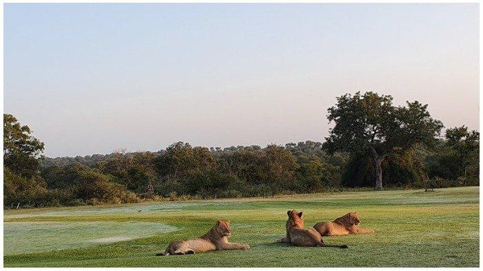 Afrika Selatan Lockdown karena Covid-19, Kawanan Singa Rebahan Santai di Jalan